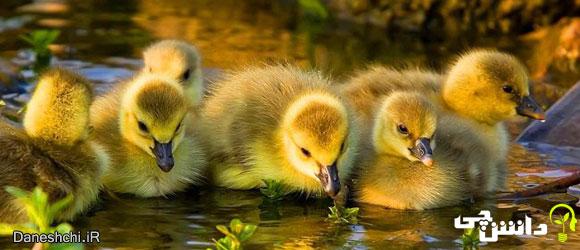 اردک (Duck)