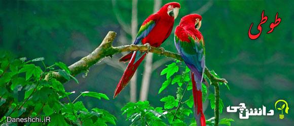 طوطی (Parrot)
