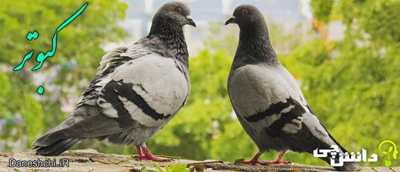 کبوتر (Pigeon)