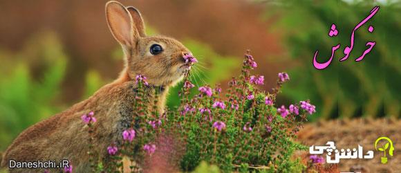 خرگوش (Rabbit)