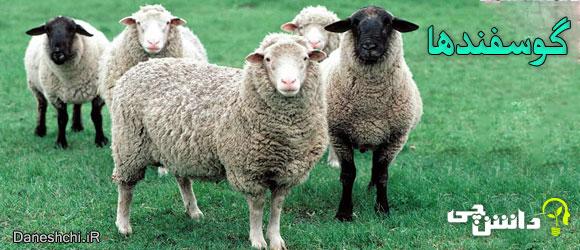 گوسفندها