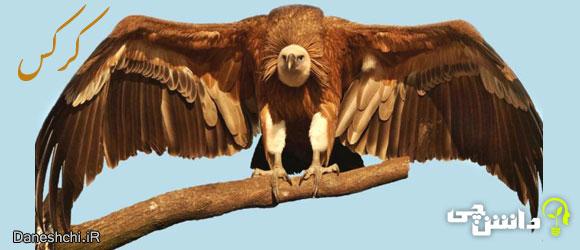 کرکس (Vulture)