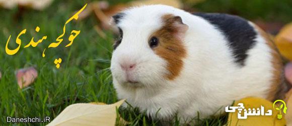 خوکچه هندی (Guinea pig)