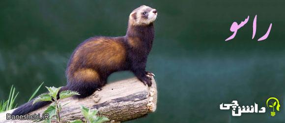 راسو (Weasel)