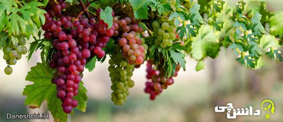 خواص ، مضرات و طبع میوه انگور