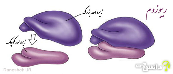 تحقیق در مورد ریبوزوم ها و وظیفه آن ها