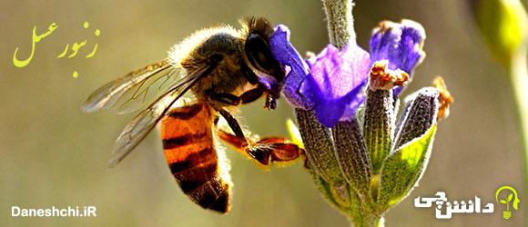 تحقیق در مورد زندگی زنبور عسل